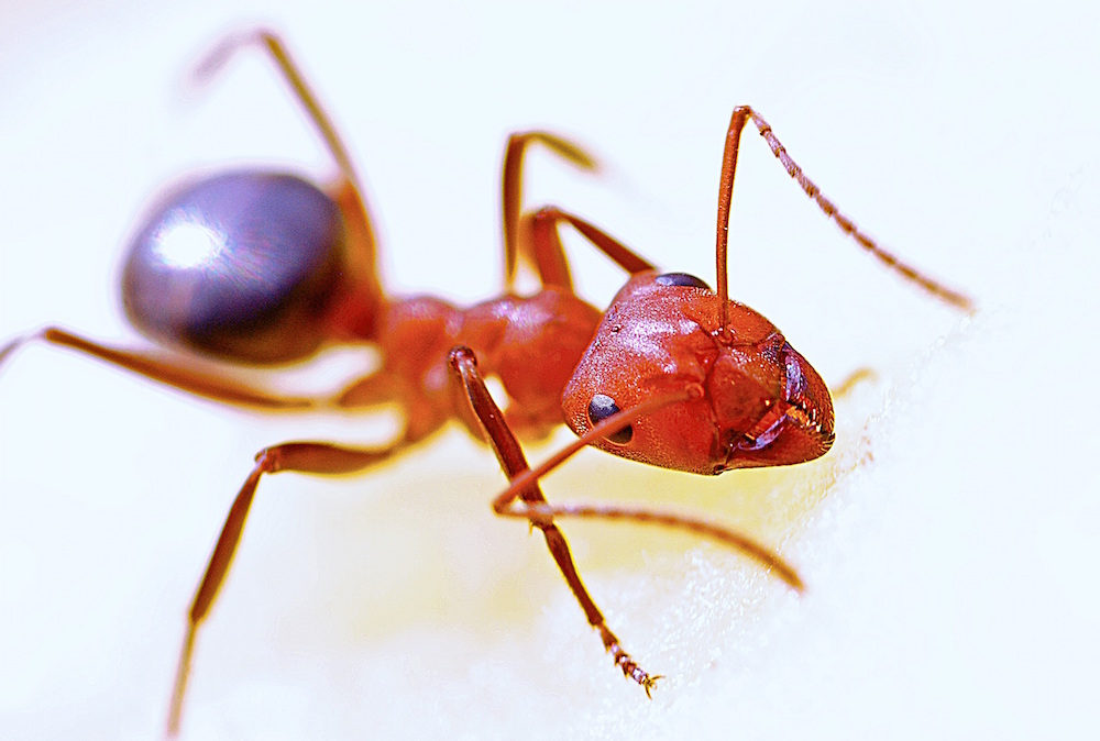 professional fire ant control keane landscaping