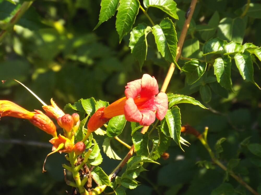 Dallas Gardening Tips Best Texas Plants To Withstand Summer Heat